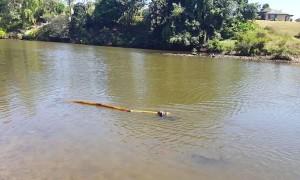 Tiny Dog Tries to Fetch Giant Stick