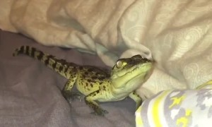 Rufio the Rescued Crocodile