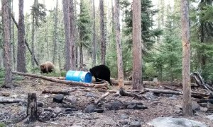 Territorial Bears Bound Around