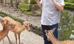 Hungry Deer Nip at Tourists for Food