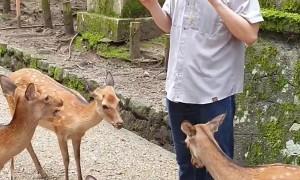 Hungry Deer Nip at Tourists for Food