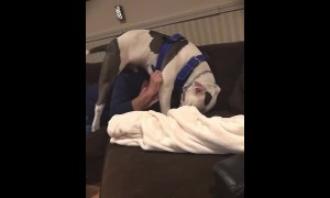 Pit Bull tackles man in order to steal his hat