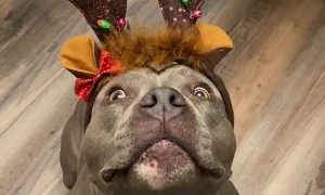 Pretty Blinking Antlers on Adorable Pit Bull