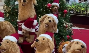 Golden Imposter Infiltrates Christmas Display