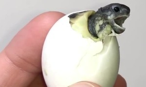 Baby tortoise emerges from its shell