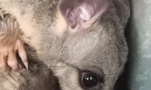 Possum Pair Get a Helping Hand