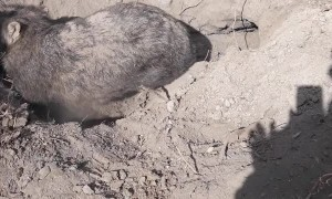 Wombat Rescue in the Wolgan Valley