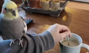 Bird Helps to Stir Morning Coffee