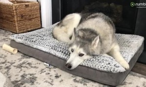 Stubborn Husky vocally protests his new bed