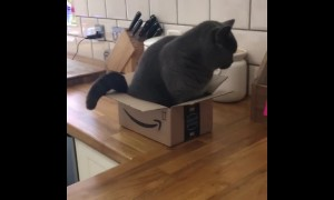Fluffy kitty can't fit inside empty box