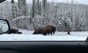 Driving Through the Yukon Enjoying the Wildlife