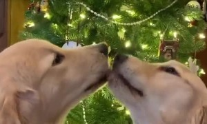 Doggies Share a Moment Under the Mistletoe