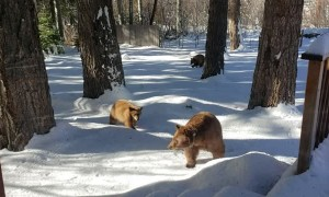 Bear and Cubs Sniff Around for a Snack