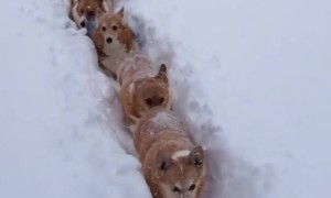 Corgi train makes its way through deep snow