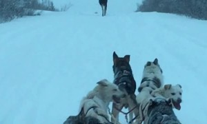 Moose Makes Way for Dog Sled Team