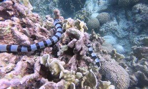 Face to Face with a Venomous Sea Snake