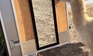 Confused Alpaca Sees Himself in the Mirror