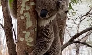 Koala Cools off on Hot Summer Day