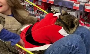Christmas Shopping With a Raccoon
