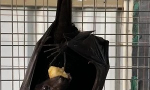 Flying Fox Enjoys Fruity Treat