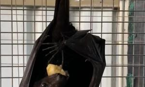 Flying Fox Enjoys Fruity Treat