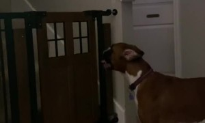 Dog Defies Gate to Retrieve Toy