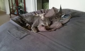 Kangaroo Joey Cleans Kitty's Ears