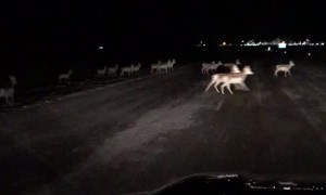 Herd of Antelope Migrate Across Interstate