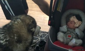 Alaskan Malamute can't hold back excitement while meeting baby sister