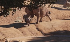 Elephant Knocks Baby Elephant Over