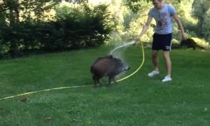 Boar Chases After Human with Hose