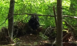 Black Bears in Cades Cove Come in Close