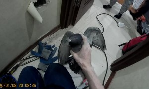 Pigeon Rescued from Inside a Wall