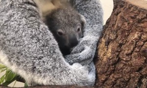 Koala born at Zoo Miami named 'Hope' in honor of Australian wildfire victims