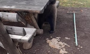 Bear Boogies on Park Bench