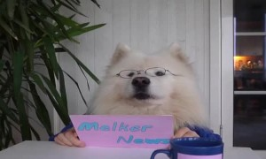 Cute samoyed Melker present News