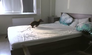 Puppy totally loses it after being allowed to play on bed