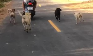Street Dogs Love Man on Scooter