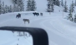 Wolves Howl in Yellowstone