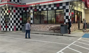 Pig Casually Wanders through Gas Station
