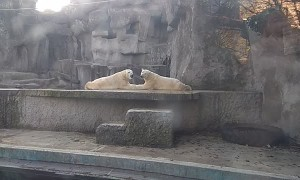 Couple of Kissing Polar Bears