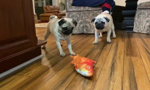 Two Pugs and a Fish