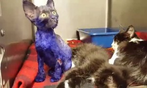 Kitten Was Dyed Purple And Thrown As Bait To Fighting Dogs