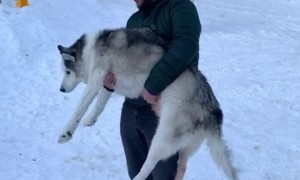 Human Helps Husky Do Number Two
