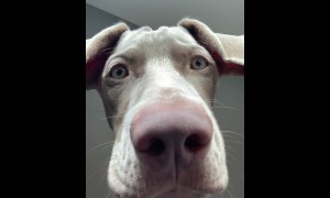 Hilarious Weimaraner is ready for your video call