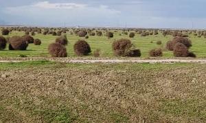 A Tumbleweed Stampede