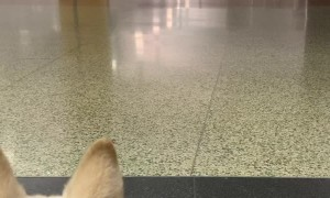 Super Excited Doggo Dives in for Airport Reunion