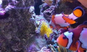 Clownfish Watches over Clutch of Eggs