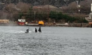 Orca Squad Swimming in Unison Near Ketchikan Bay
