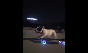 This amazing French Bulldog knows how to ride a skateboard
